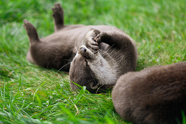 Otter Lazily Nibbles His Paw