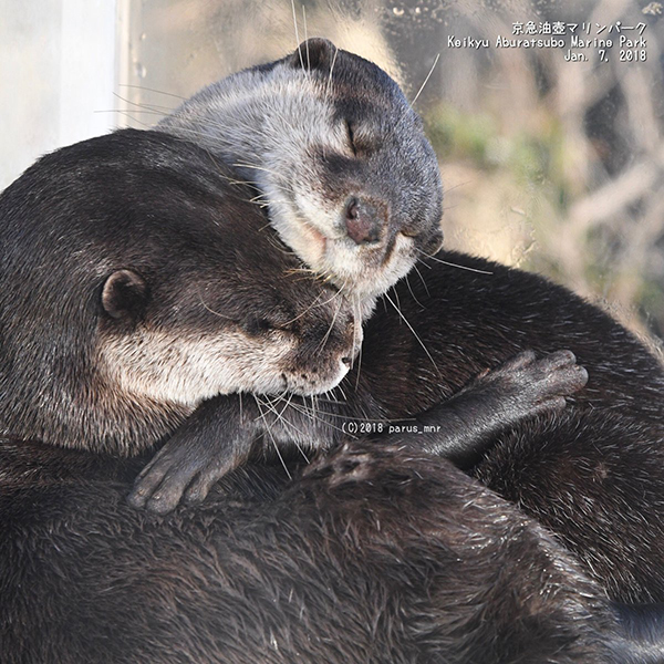Significantly Affectionate Otters