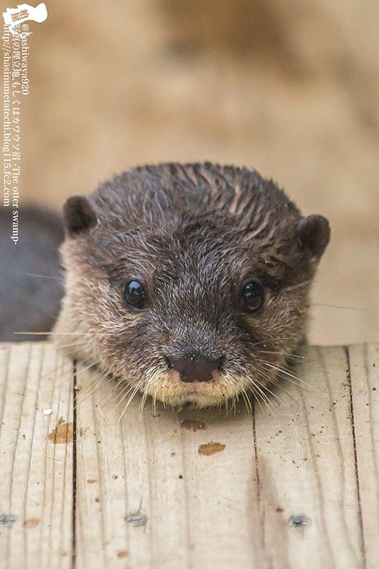 Rest That Little Chin, Otter