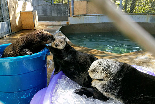 Sea Otters Cuddle and Smooch While They Wait for Their Pool to be Cleaned