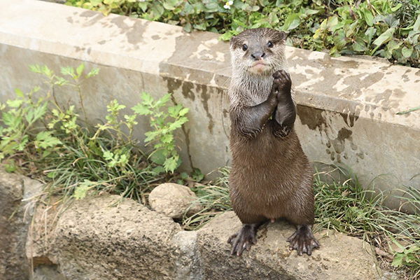 Otter Has a Very Delicate Golf Clap