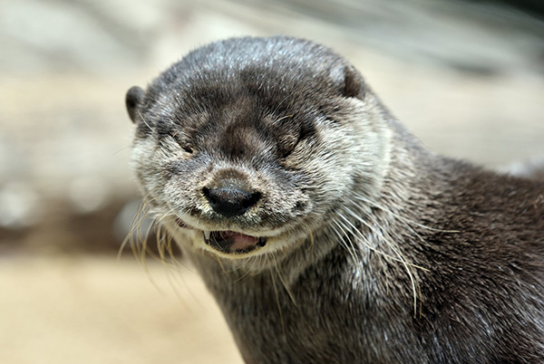 What Mischief Is Otter Secretly Planning with That Ominous Chuckle?