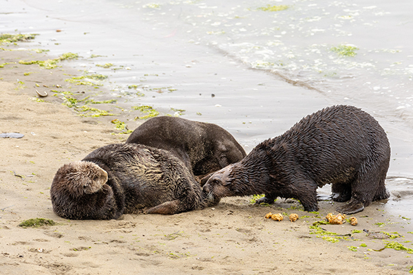 Even Sea Otters Can Use a Little Land Time Once in a While