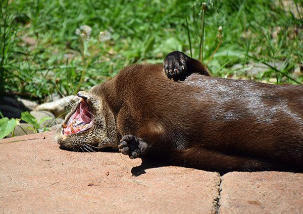 Otter Has a Very Expressively Lazy Morning