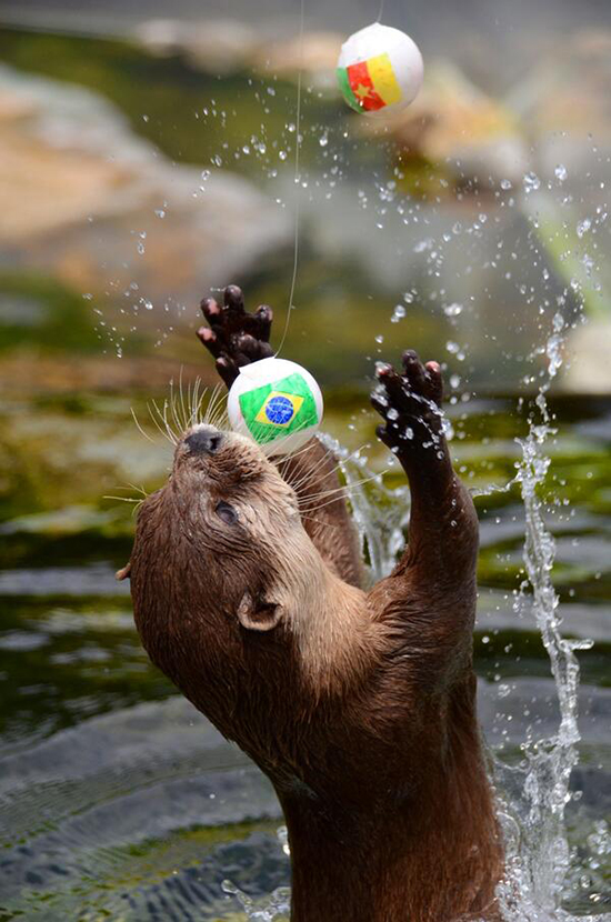 Otter WILL Get Both Those Balls