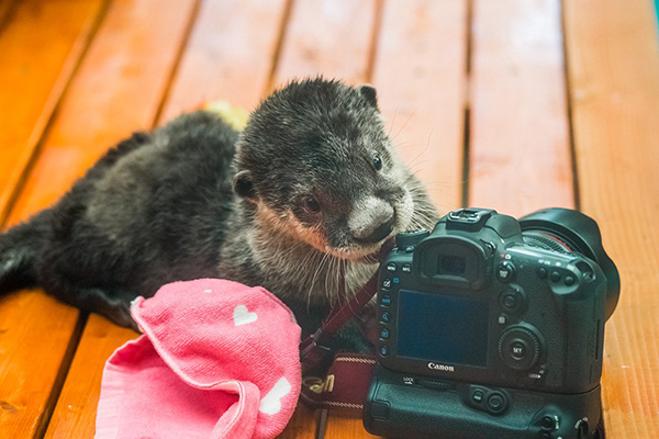 Otter Takes an Interest in Photography 2