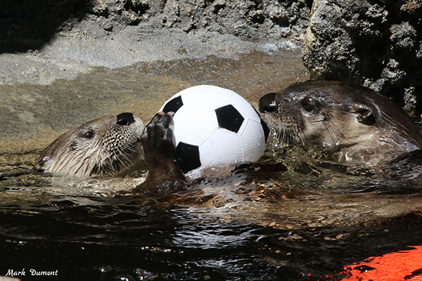 Otters Get into the World Cup Spirit