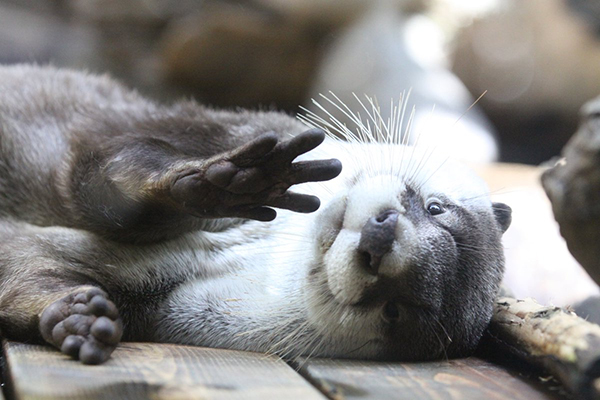 Otter Is Too Sleepy to Give a Proper Hello