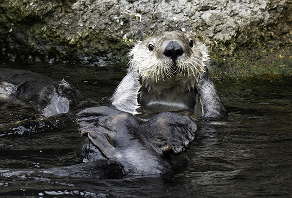 Uh-Oh, The Camera's Gone Off Before Sea Otter's Finished Primping!