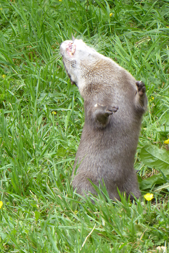 Otter Is a Second Away from an Earth-Shattering Sneeze