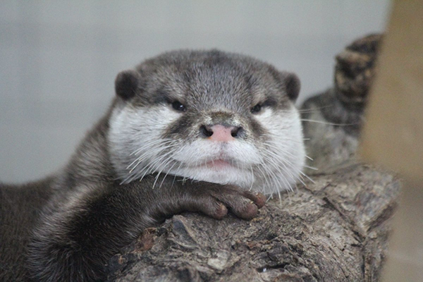 Otter Looks Awfully Smug About Having That Log