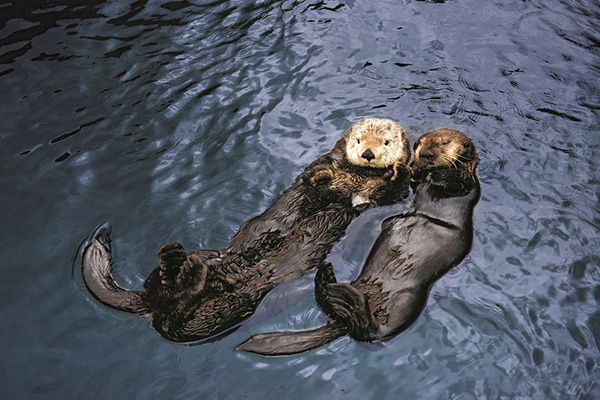 Sea Otters Know How Important It Is to Have a Friend to Float With