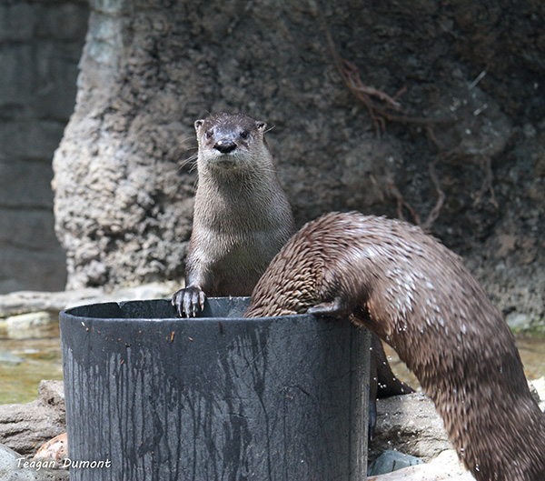 Otter Politely Waits for His Friend to Finish Bobbing for Fish Before Taking His Turn