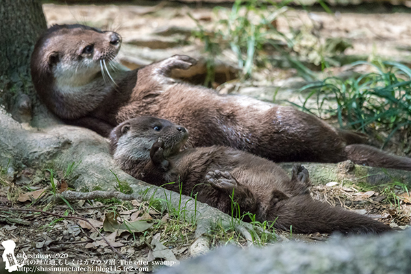 Otter Shows Her Pup How to Sunbathe One's Belly