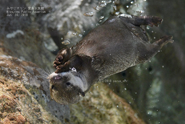 Otter Blows Bubbles Upside-Down Underwater
