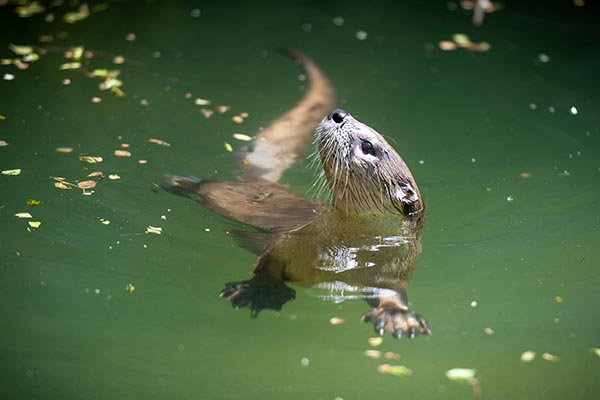 Otter Gets In Some Solo Practice at Her Synchronized Swimming Routine