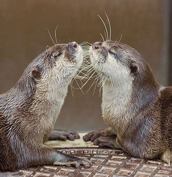 It's Like Otters Are Looking in the Mirror