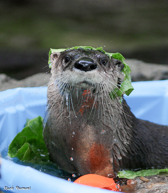 Otter Wears His Snack