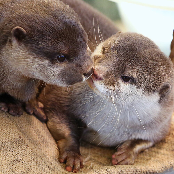 Otters Touch Noses
