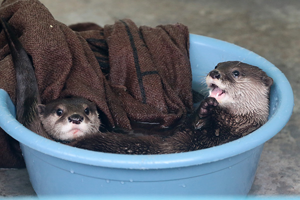Otters Enjoy Their Time in Their Water-Filled Bucket