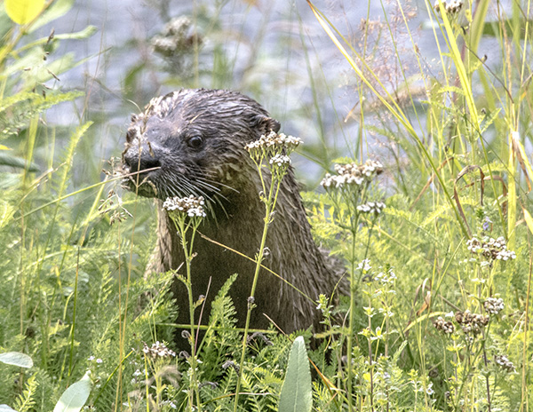 Otter Stops to Smell the Flowers