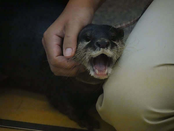 Otter Is SO HAPPY to Get Scritches from Human