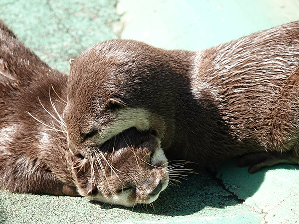 Otter Gives Her Napping Friend a Kiss for Sweet Dreams