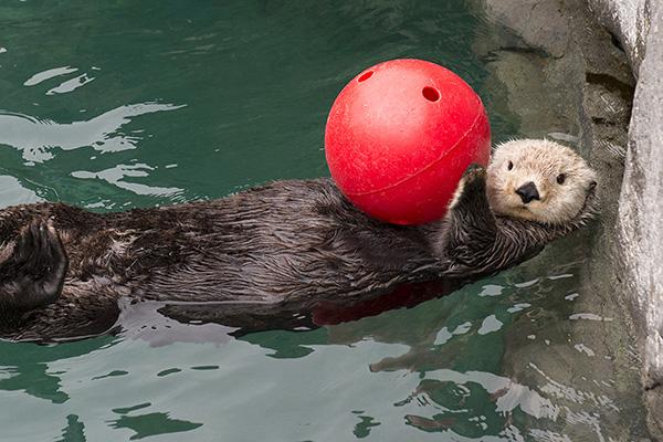 Sea Otter Awareness Week Starts... Now!