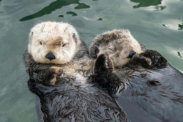 Sea Otters Tanu and Katmai Make a Two-Otter Raft 1