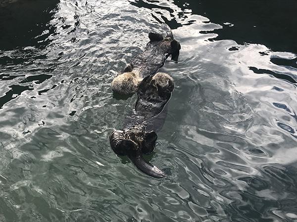 Sea Otters Tanu and Katmai Make a Two-Otter Raft 2