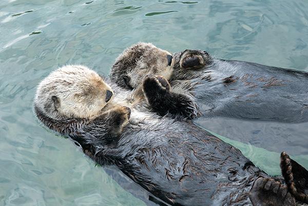 Sea Otters Tanu and Katmai Make a Two-Otter Raft 3