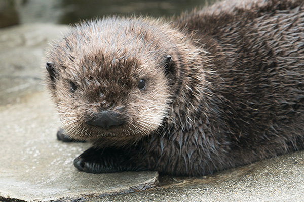 Look into Otter Pup's Eyes... You Are Feeling Very Sleepy... And Generous with Your Shrimp