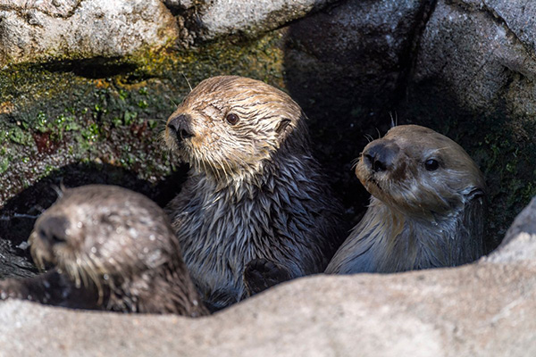 Three Sea Otters in a Tiny Pool Is a Party!