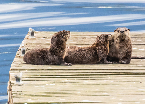 Mother Otter and Her Pups Relax for a Bit on the Dock