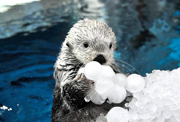 Sea Otter Will Make Short Work of Demolishing That Cluster of Ice Balls