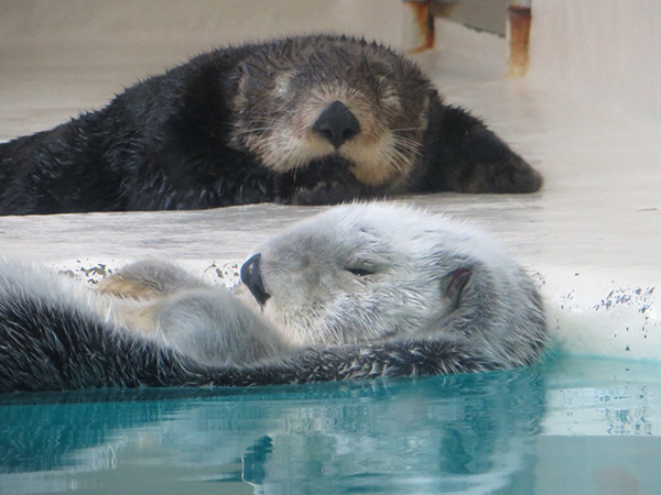 Sometimes a Sea Otter Wants to Nap in the Water, Sometimes on Land