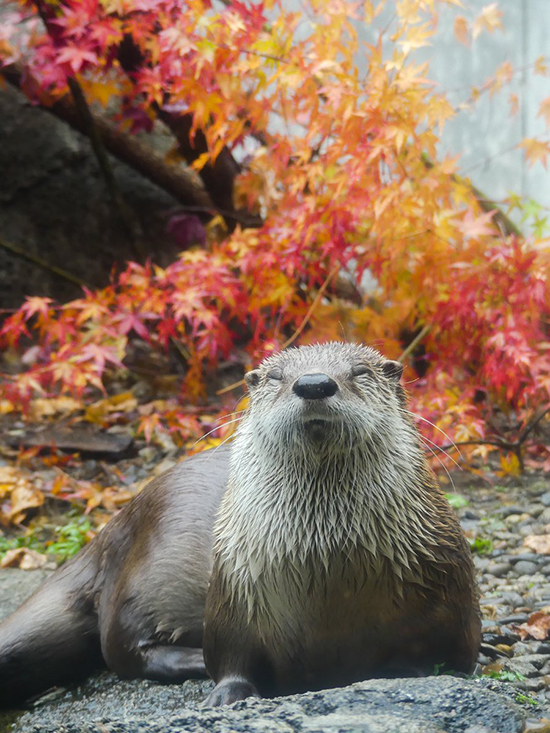 Otter Soaks in the Autumn Colors