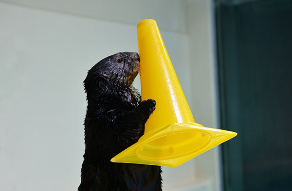 Sea Otter Knows the Importance of Safety