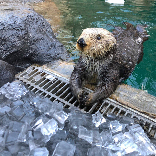 Sea Otter Hopes There Are Thanksgiving Leftovers