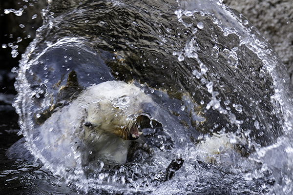 Sea Otter Is a Downright Maniac in Water!
