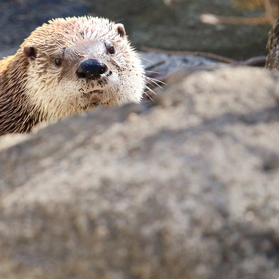 I Always Feel Like Some Otter's Watching Me