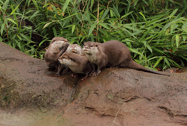 Who'd Want to Mess with THIS Gang of Otters?