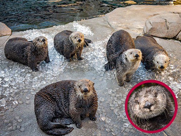 Sea Otters Attentively Watch Monterey Bay Aquarium's New Project