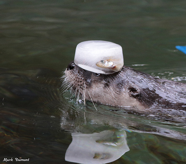 Not a Bad Way of Transporting Your Food Through Water, Otter