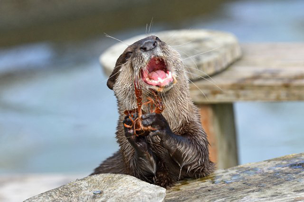 Otter Can Simultaneously Eat a Snack and Belt Out a Tune