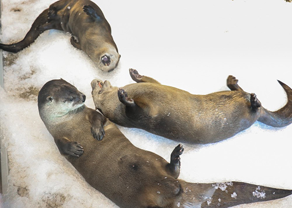Goofy Otters Happily Roll Around in the Snow