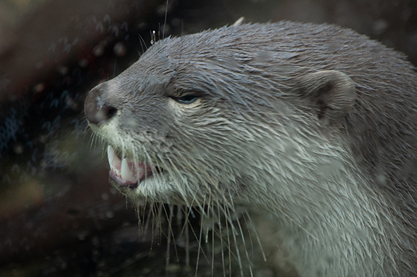 Oh, Otter, What Big Teeth You Have!