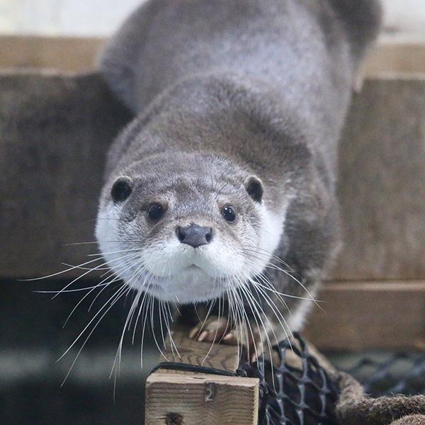 Otter Carefully Slinks Onto the Balance Beam