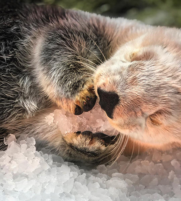 Sea Otter Nibbles on a Chunk of Ice