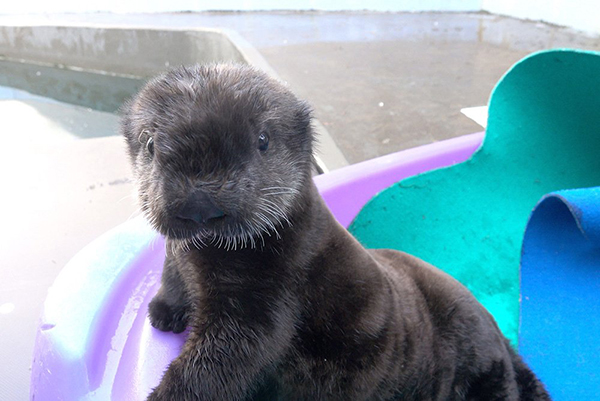 Sea Otter Pup Is Poised to Not Miss a Thing